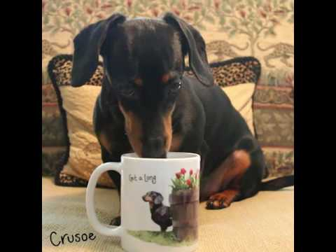 How Crusoe the Dachshund Gets Ready for His Day