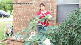 How to Grow and Use the Moon Flower