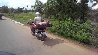 Transport de porcs a moto.AVI