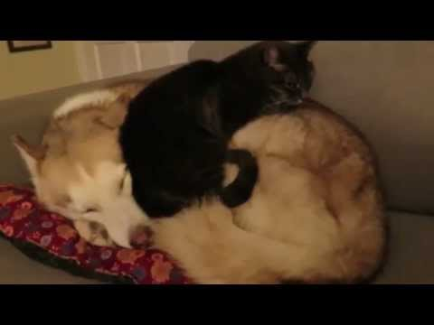 Cat gets comfortable on a husky bed