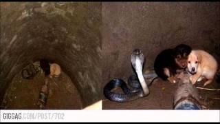 Cobra Snake Protects Puppies That Fell Into A Well