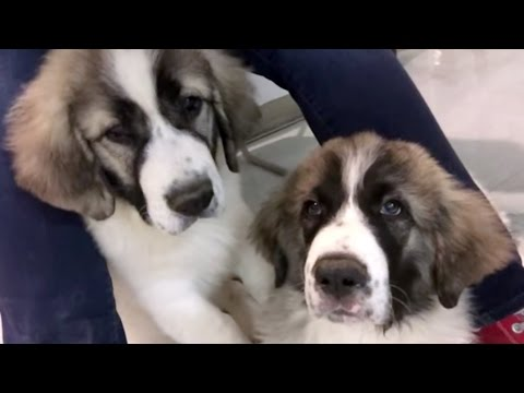 How to kiss (Pyrenean Mastiff Puppies)