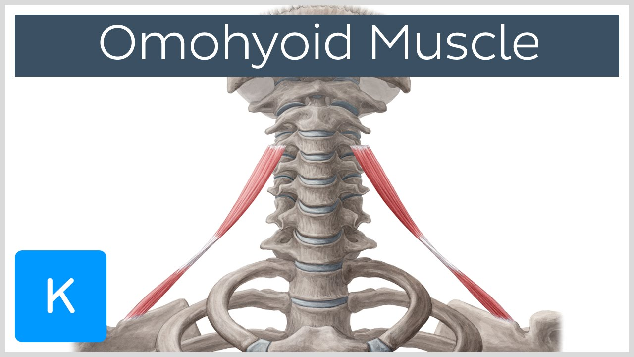 Omohyoid muscle - Origin, Insertion, Innervation & Function - Human ...