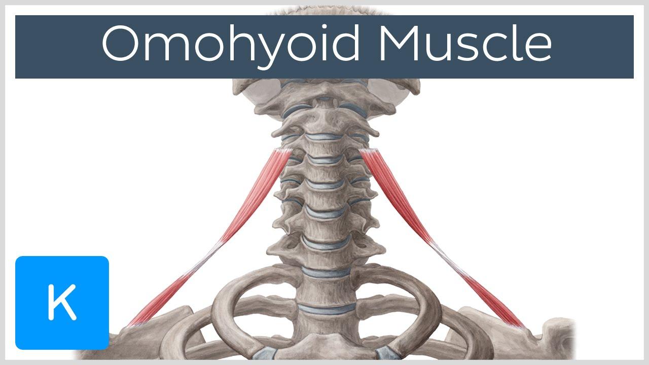 Omohyoid muscle - Origin, Insertion, Innervation ...