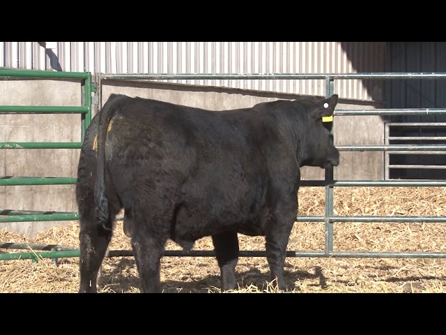 Schiefelbein Angus Farms Lot 195