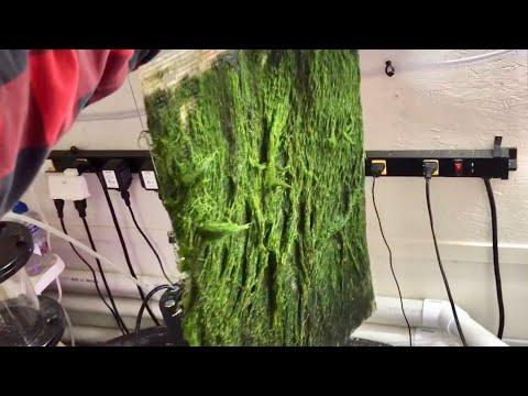 Look at this 3 week Algae Scrubber Growth!!!