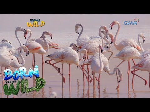 Born to Be Wild: The life of greater flamingos