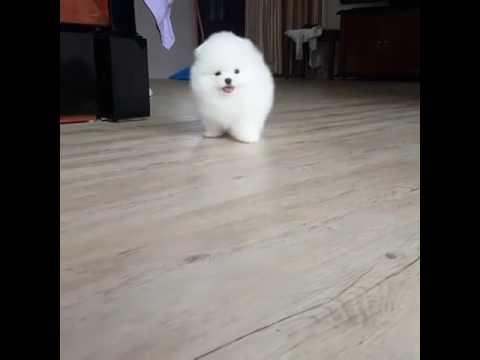 Funny White Dog Shiro