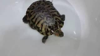 Как ухаживать за водной черепахой.