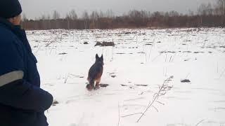 Овчарка не отдает палку на полигоне !
