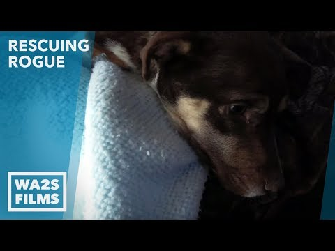 Sick Broken Legged Dog Sleeps In The Rain On Side Walk And Waits To Be Rescued Ep 15 Rescuing Rogue