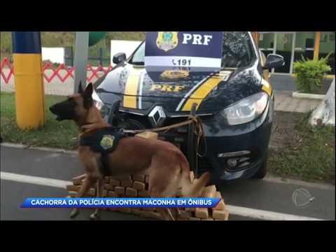 Cachorra da polícia encontra maconha em ônibus