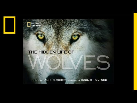 The Hidden Life of Wolves   National Geographic