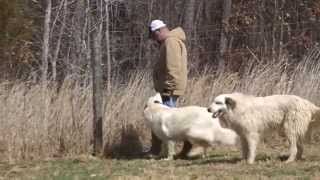 Caring for Working Dogs on your Hobby Farm
