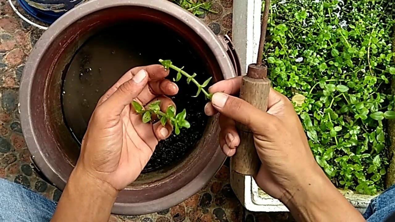Cara tanam dan memperbanyak tanaman air aquascape : Rotala ...
