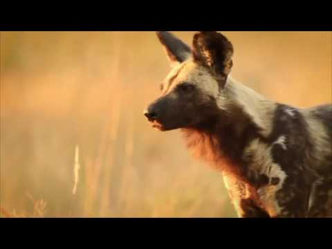 Protect the African Wild Dog by Endangered Wildlife Trust | GivenGain