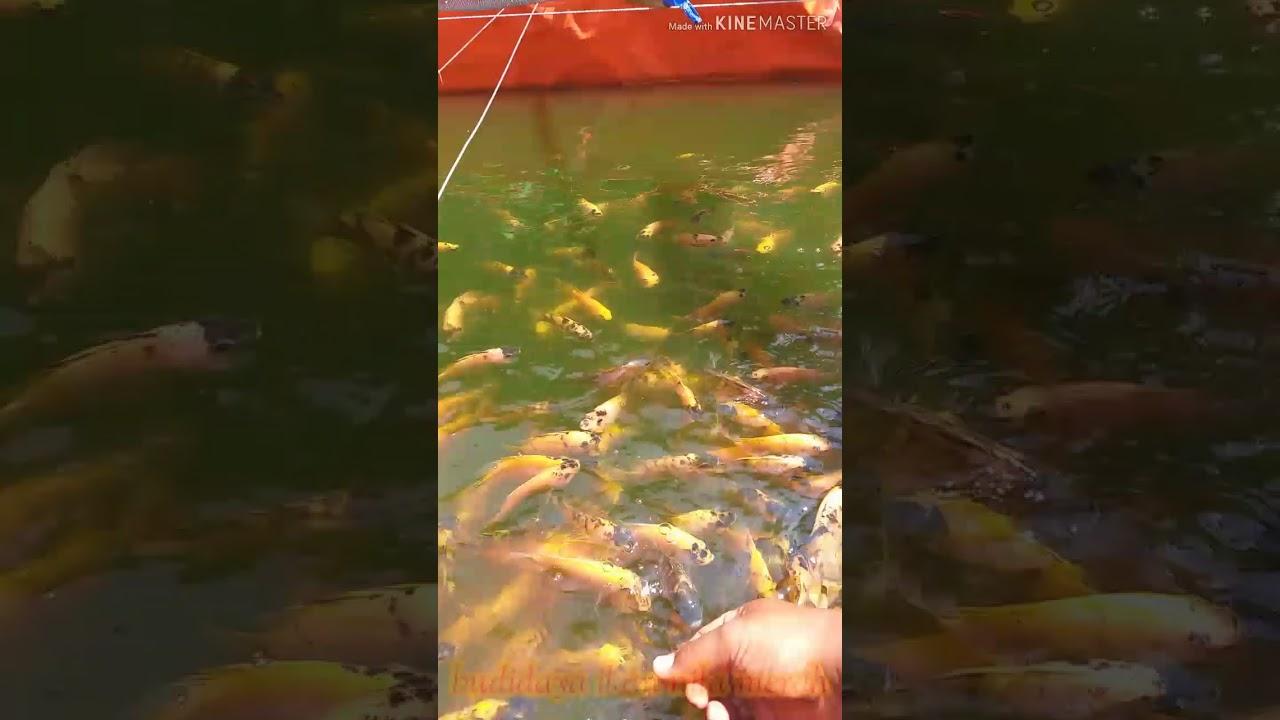 Untung besar budidaya ikan nila merah di kolam terpal ...
