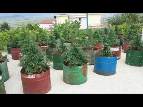 Marijuana Made in Albania  (Cannabis)
