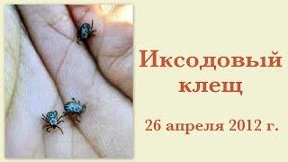 Иксодовый клещ 26 апреля 2012(, 2012-04-26T14:14:13.000Z)