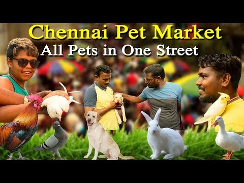 chennai pet market - dog, cat and the pet you name it … a must place to visit in chennai tamil news online   welcome to the centuries-old #chennai pet market,  a must place to visit in chennai, located at off the marina beach this marketplace  offers all kind of pet animals, dog, cat, pigeons, love birds and whatever you name it you will get it in broadway pet market chennai. opens on every sunday from 6:30 a.m. to 1:30 p.m. none of the sellers are are permanent  to this market, if you are a good beginner you can go  back home with lovely pet at cheaper cost    tamil news today    For More tamil news, tamil news today, latest tamil news, kollywood news, kollywood tamil news Please Subscribe to red pix 24x7 https://goo.gl/bzRyDm red pix 24x7 is online tv news channel and a free online tv