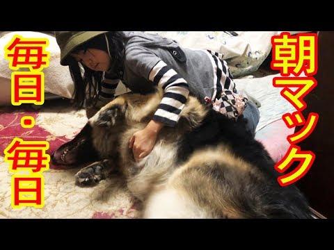朝マック・夜マック・シェパード犬と孫達の日常German Shepherd