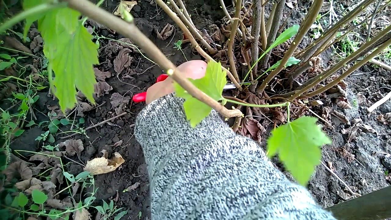 Смородина размножение черенками зимой