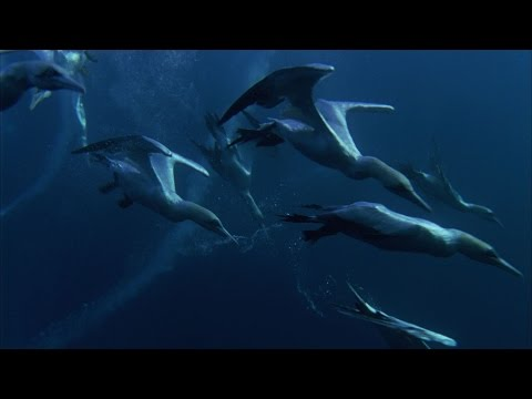 Predator Feasting Frenzy - Nature's Great Events - BBC