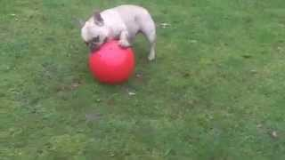 French Bulldog At A & B Dogs Boarding & Training Kennels.
