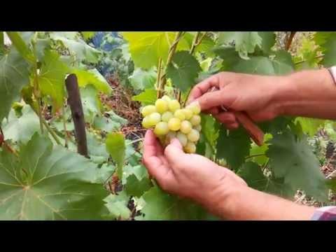 Виноград Августин, Супер-Экстра (наглядный пример созревания гроздей)