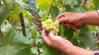 видео Виноград Августин