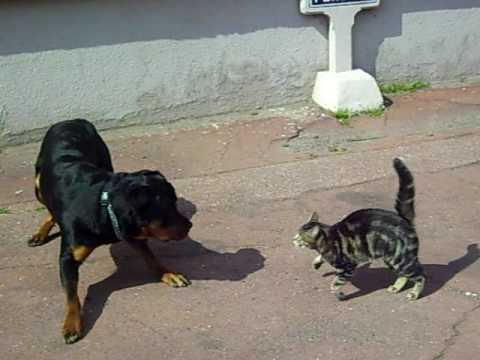 Combat rott vs chat youtube - Com chien et chat ...