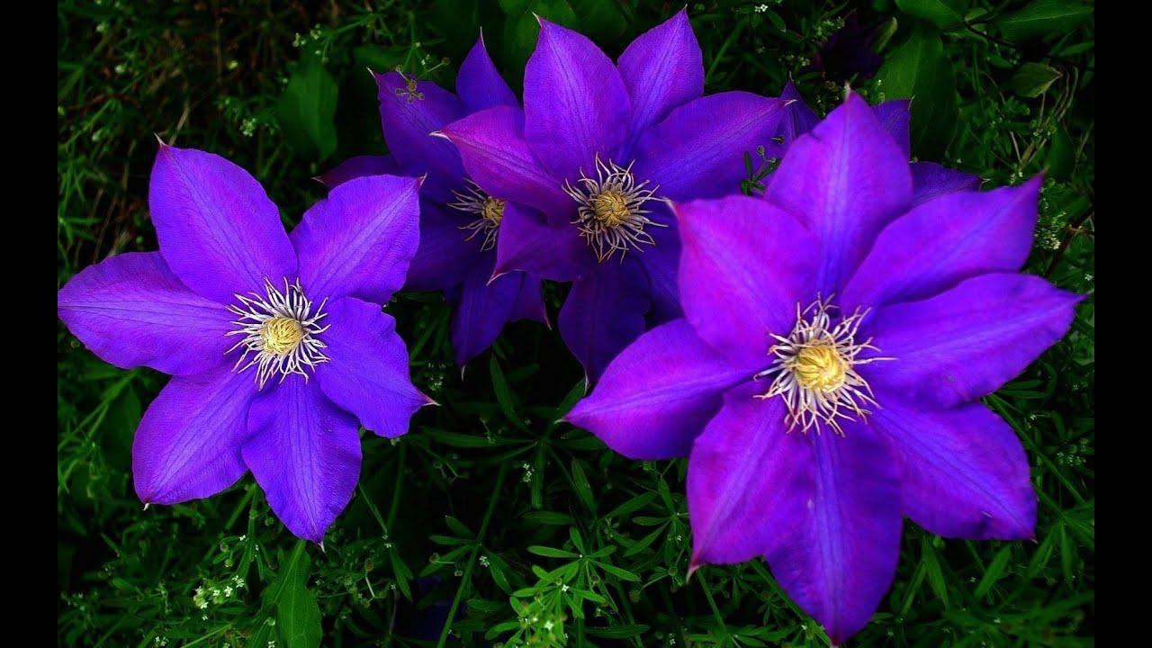 Купить цветы клематисы в рб