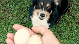 Corgi Training: Teaching Your Dog To Carry An Egg From The Coop Back To The House
