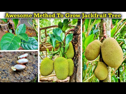 awesome-method-to-grow-jackfruit-from-seed-faster-–-learn-how-to-plant-jackfruit-seeds-(in-english)