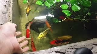 Hồ cá koi mini tự làm! Cá rẻ tiền thôi các bạn xem đừng cười nha