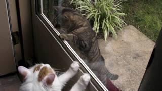 [Fats] Turkish Van Cat Meets Stray Cat