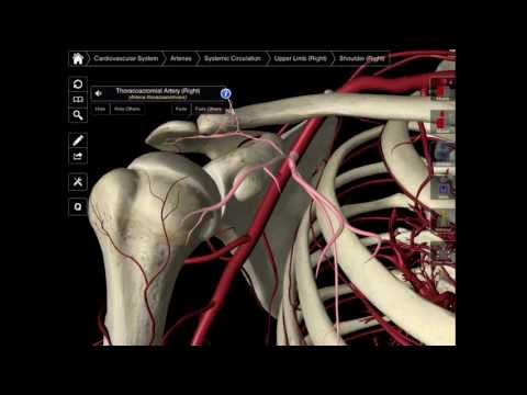 099 The Branches Of The Axillary Artery