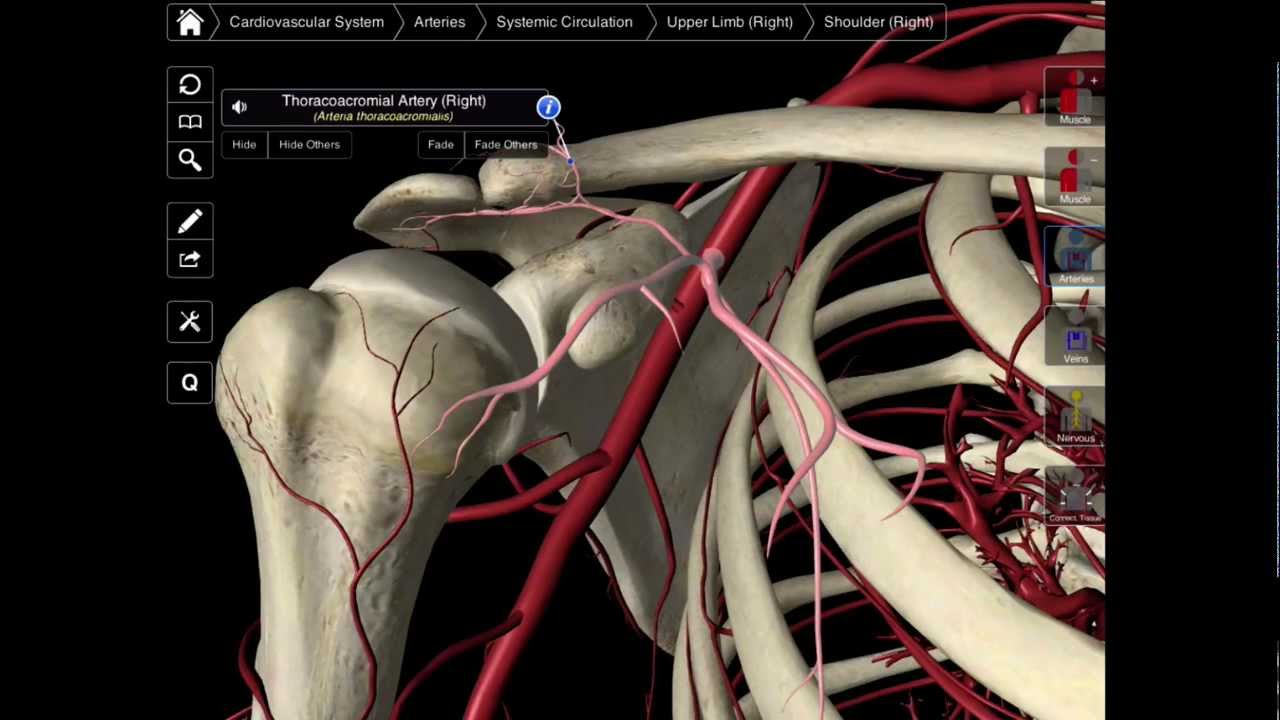 099 The Branches Of The Axillary Artery Youtube