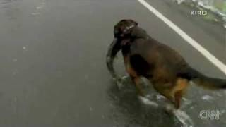 Dog catches salmon swimming across road