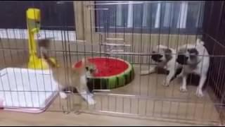 2 anjing pun takut pada kucing kecil, dasar anjing cuma gonggong doang