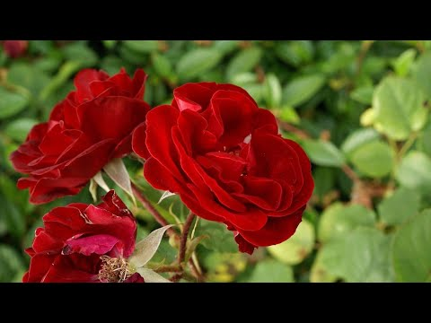 flowers photo .images roses .wallpaper photos .flowers wallpaper .photos profile flowers