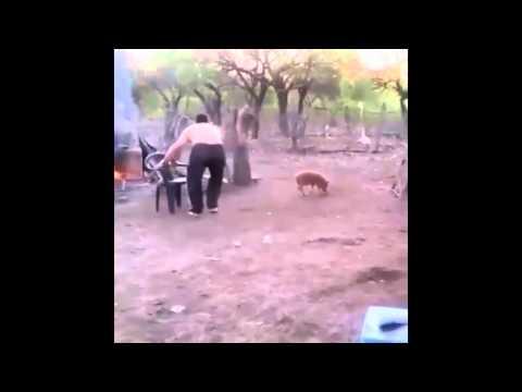 напала свинья