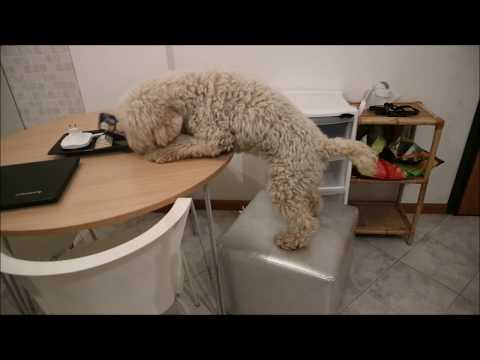 cosa si inventa un cane per rubare il torrone dal tavolo
