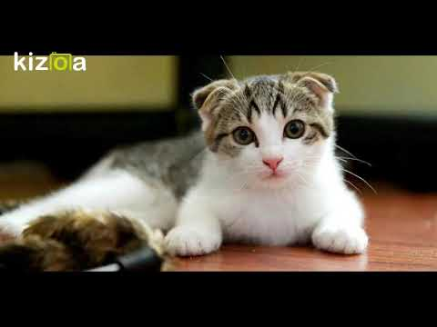 Top 12 Most Expensive Cat Breeds in the World...12 أغلى سلالات القطط في العالم