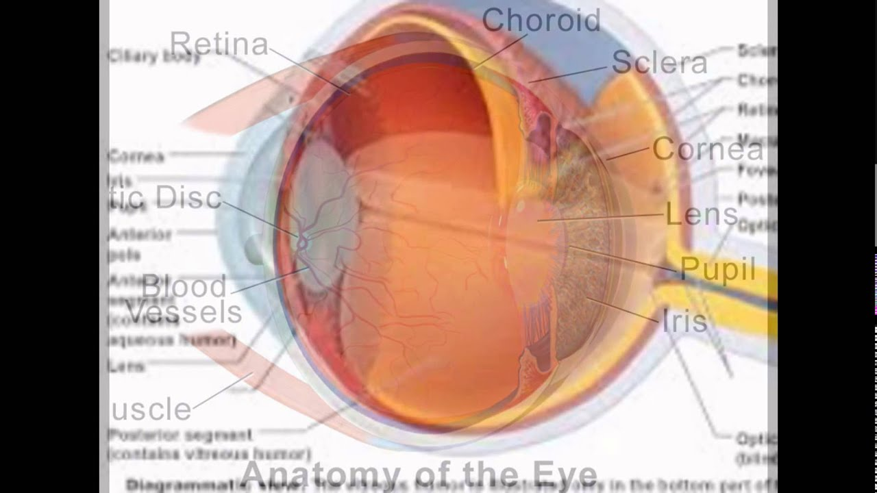 Choroid Function Eye - YouTube