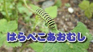 草むしりしていたらアオムシ発見。 キアゲハの幼虫みたいなのでチョウチ...