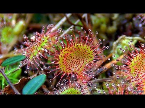 Росянка - выращивание, уход и кормление росянки - Дом