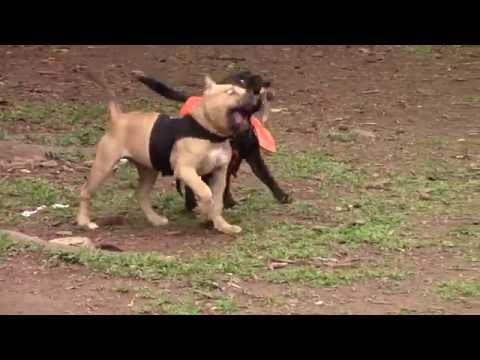 Staffy meets Bully Puppy - American Bully & StaffBull