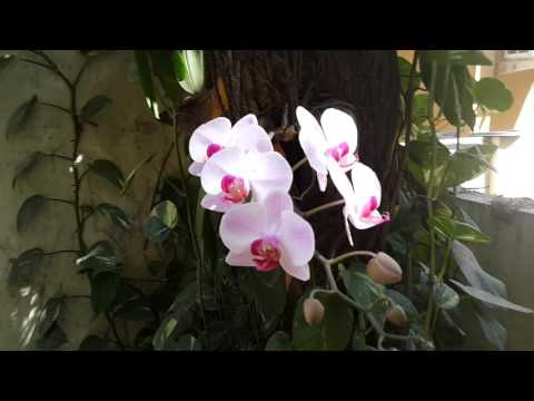 Phalenopsis blooming in Chennai