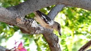 Pied Butcherbird (juvenile)